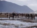 Elk at Jackson